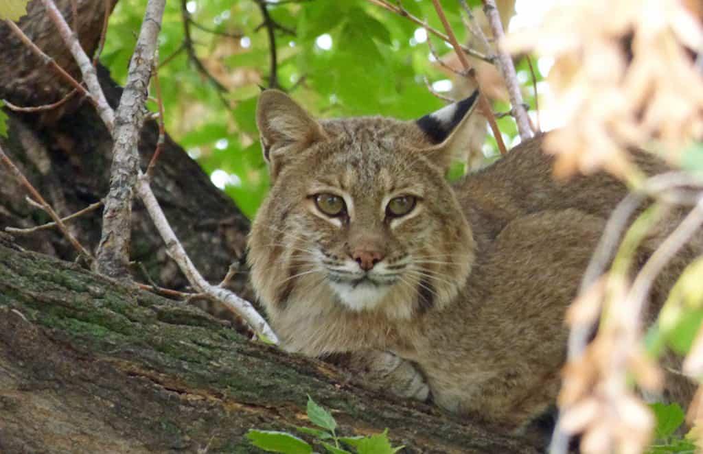 bob cat-Longmont-Boulder