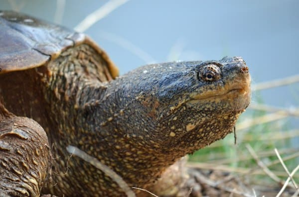 snapping turtle Canoeing-Trips-Longmont Boulder